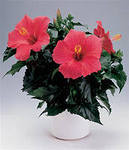 Китайская роза суданская роза это