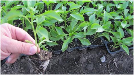 Катарантус выращивание из семян в домашних условиях с 84