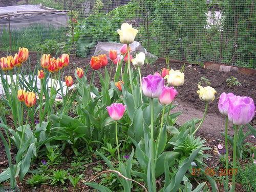Когда сажать тюльпаны осенью 48