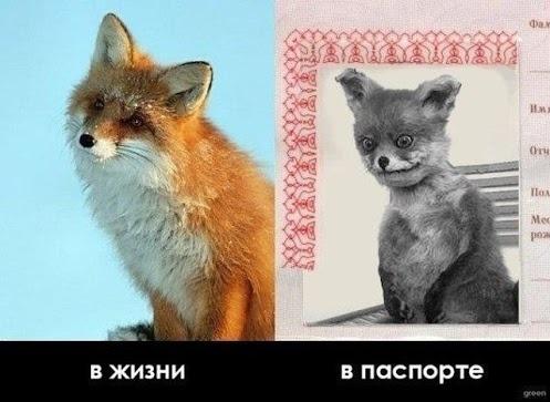 прикол чучело лисы