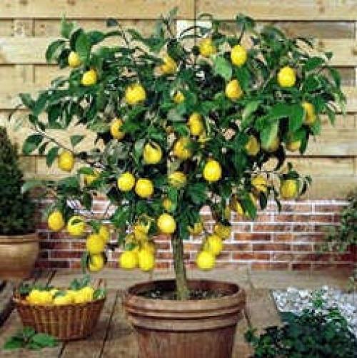 Комнатный лимон: фото сортов, уход за деревом в