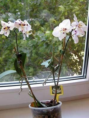 Цитокининовая паста для орхидей купить в москве