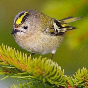 Какая самая маленькая птица в россии