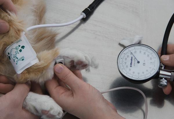Как измерить давление собаке в домашних условиях