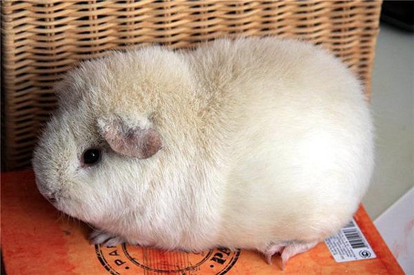 Купить морскую свинку в минске куфар