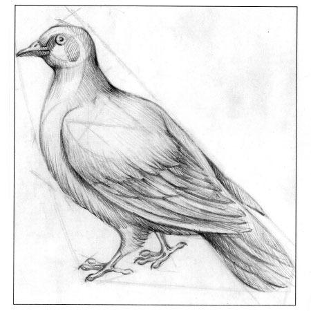 этапом рисования голубя