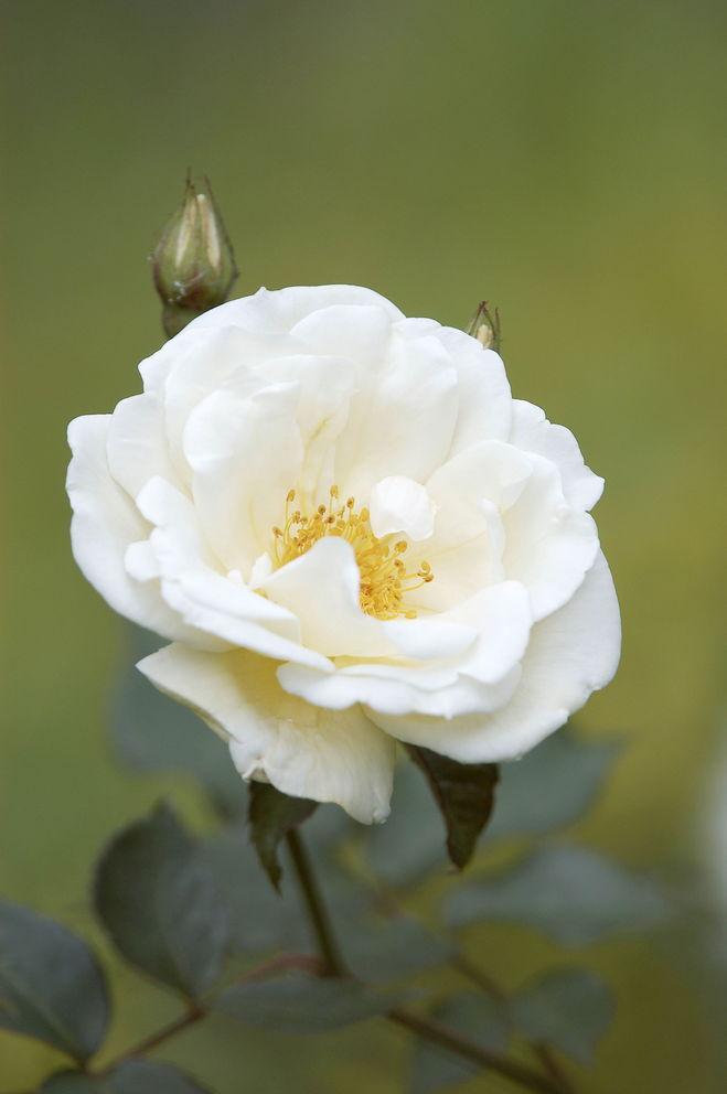 Цветы белый шиповник
