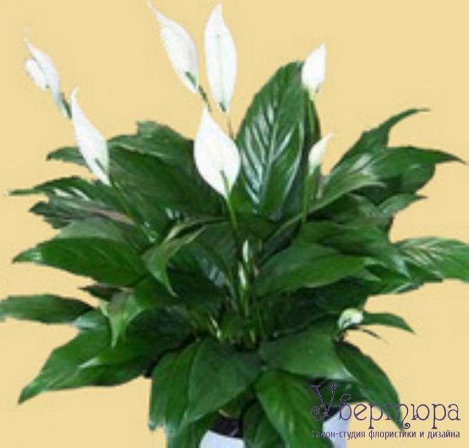 Филодендрон все нюансы ухода за цветком в домашних