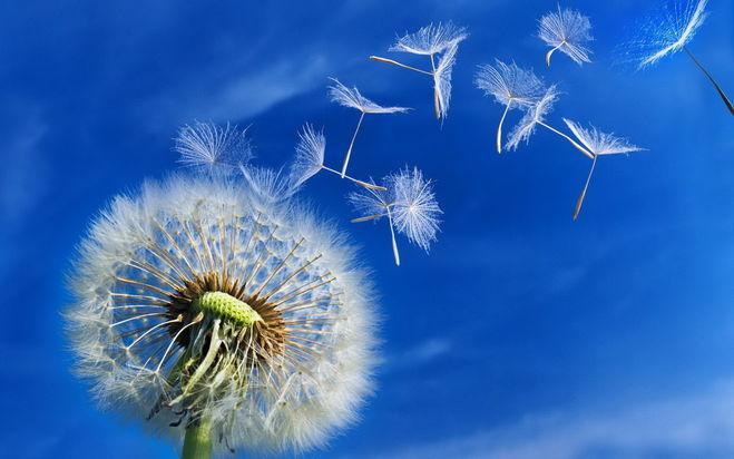 Как семена распространяются с помощью ветра