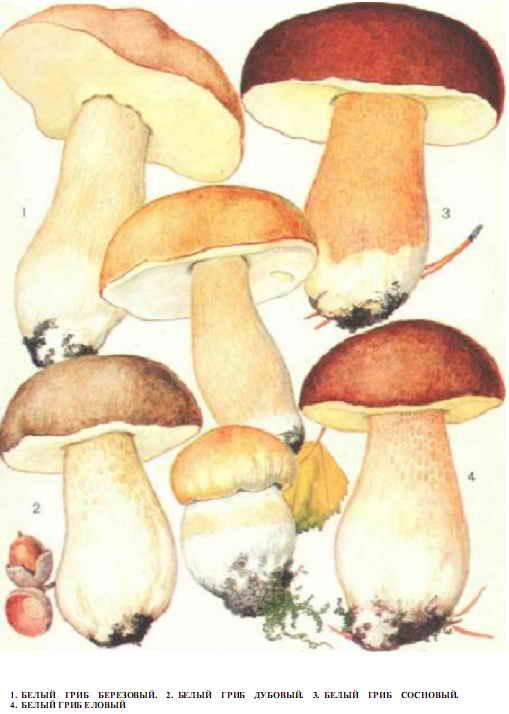 Как хранить белые грибы?