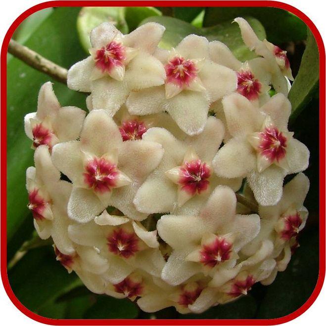 """Вот например, такой милый цветок, как Хойя, называют  """"Мужегоном """", туда же приплели и фиалки, плющ, кактусы."""