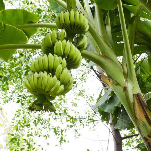 можно есть бананы при аллергии