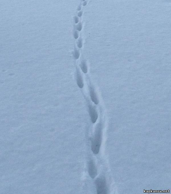 Как выглядят следы животных на снегу? След Лисы