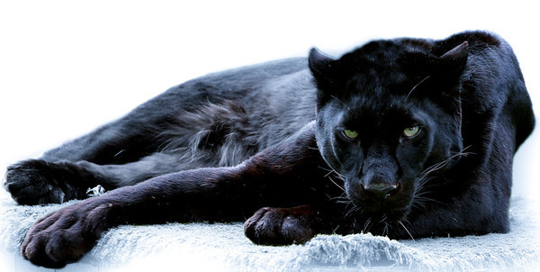 злой леопард фото