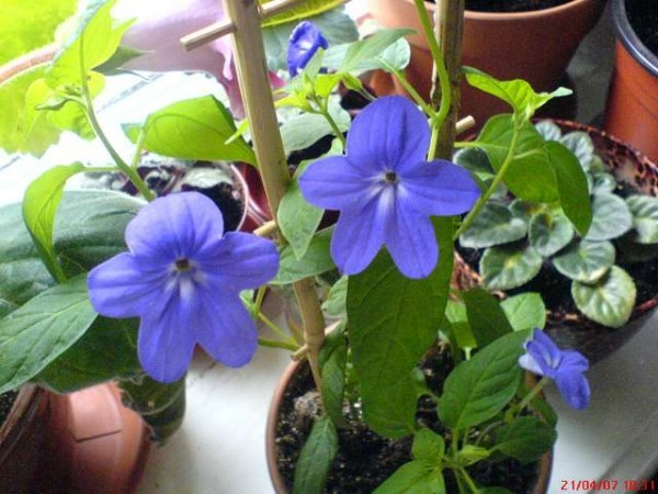 Домашние цветы с голубыми цветами