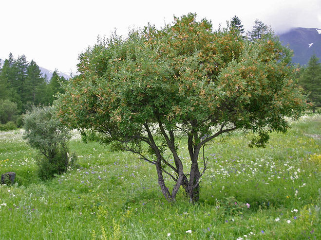 облепиха фото дерево или кустарник