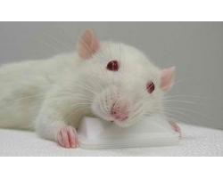 какие года под знаком крысы