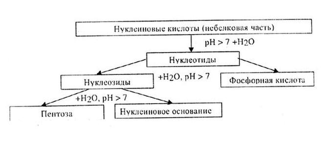 нуклеиновых кислот