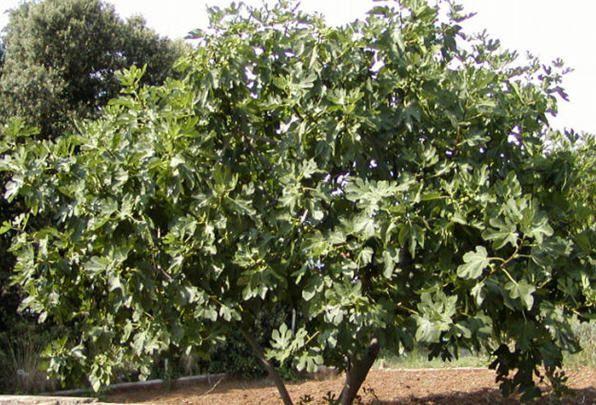 фото фиговое дерево