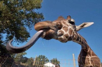 Язык у жирафа какого цвета