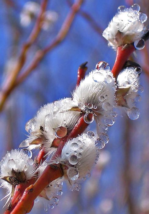 Ива белого цвета