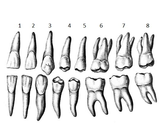 Сколько корней бывает у зуба