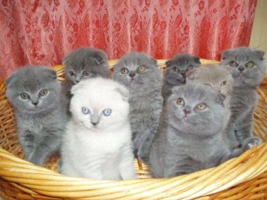 Купить вислоухие британские коты цена