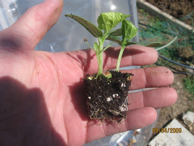 Выращивание огурцов: когда сеять рассаду для теплицы и парника 43