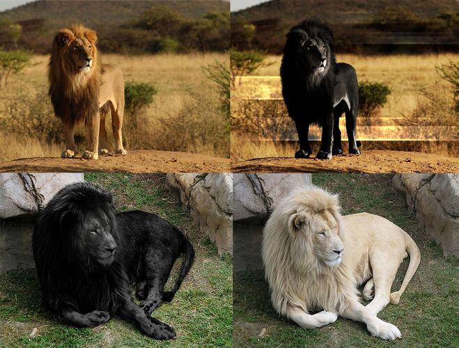 существует ли черный лев