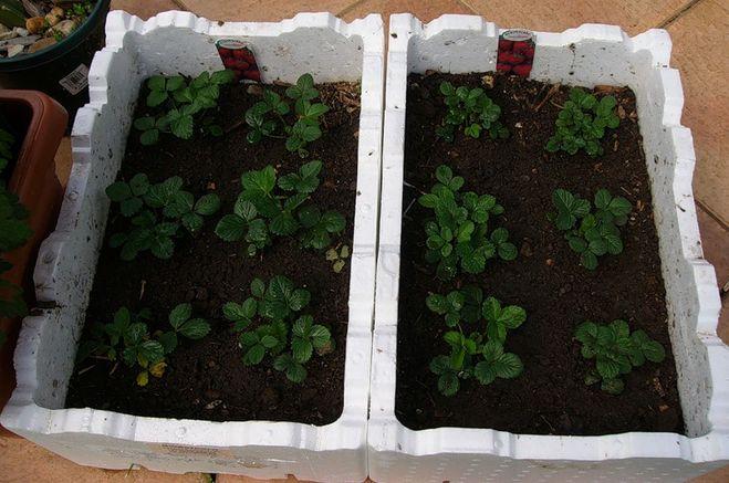 Как приготовить грунт для выращивания клубники 79