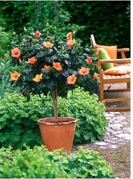 Формировать растение китайская роза