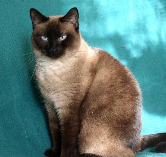 Смесь сиамского кота