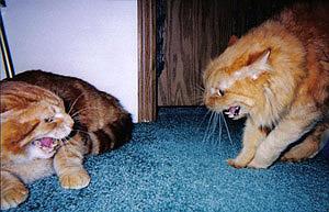 Что делать если кошка шипит на своего котенка