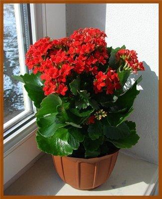 Цветок в горшке красный название