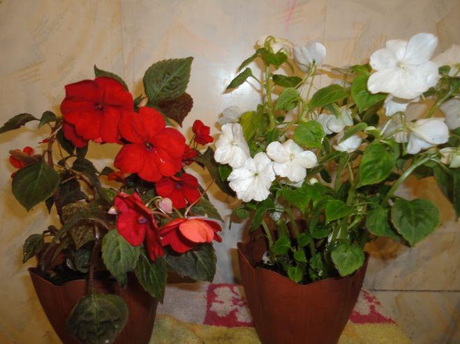 Самые неприхотливые комнатные цветы фото