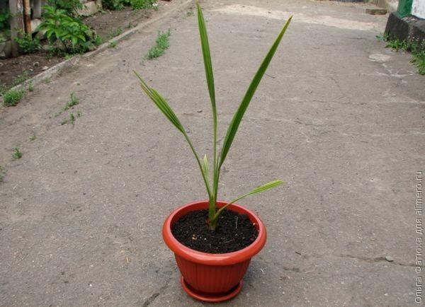 Финиковая пальма в домашних условиях рост