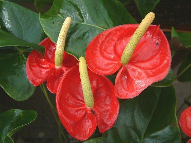 Цветы комнатные с красным цветком