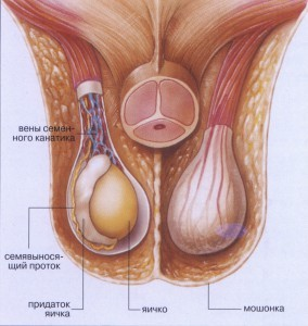 мужские яйца внутри