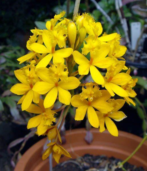 цветок комнатный пахистахис