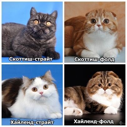чем отличаются британцы от шотландцев кошки фото