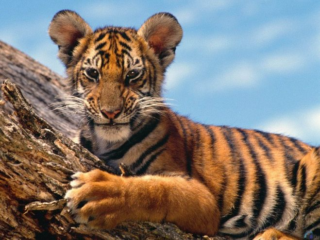 люди родившиеся в год тигра под знаком близнецы