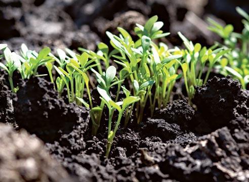 как посеять мшанку на рассаду