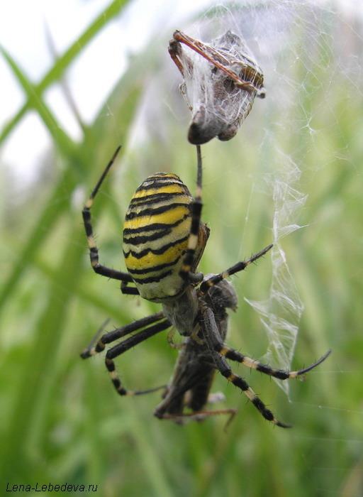 тигровый паук фото