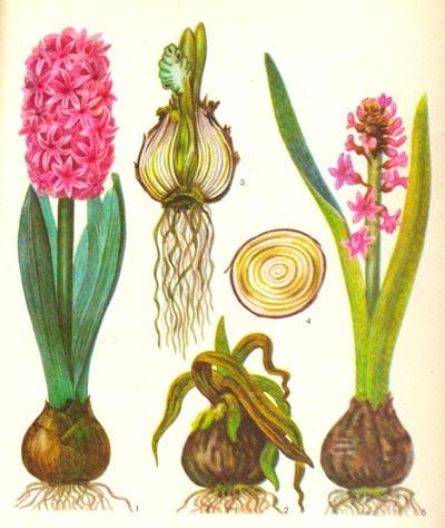 Как нарисовать гиацинт (цветок в горшке) карандашом, красками поэтапно?