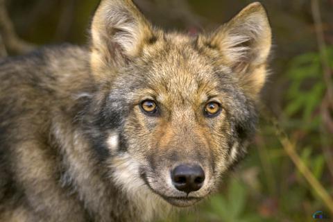 Какого цвета глаза у волков