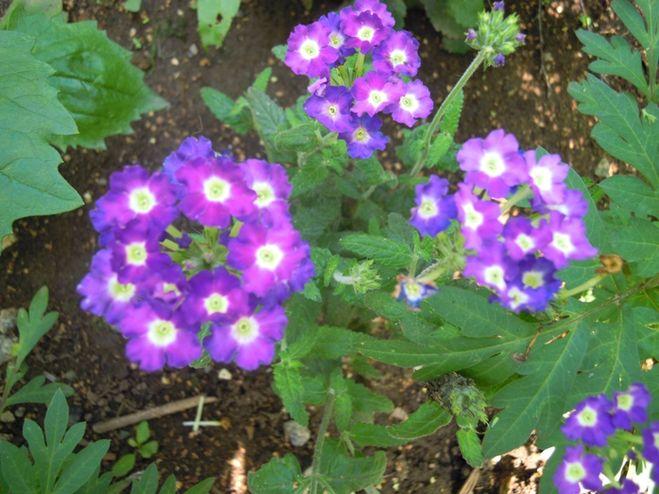 Цветы на рассаду в феврале-марте 84