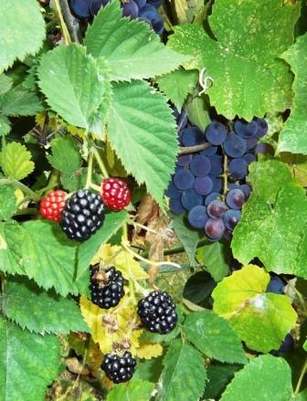 осень ежевика виноград
