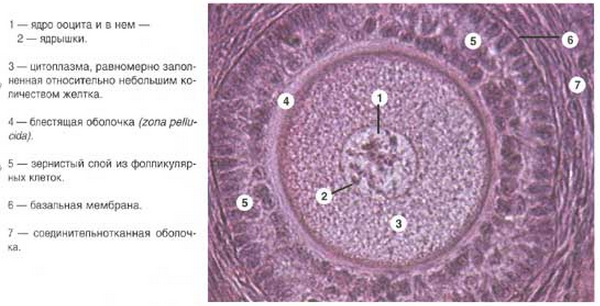 яичник и сперматозоид фото-бщ1