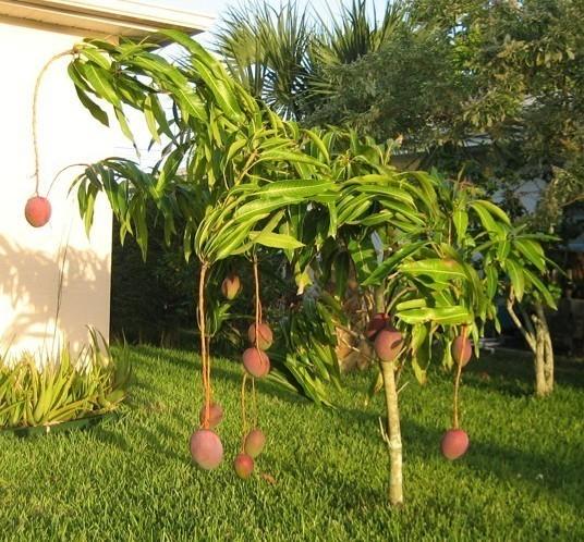Можно ли посадить манго из косточки в домашних условиях
