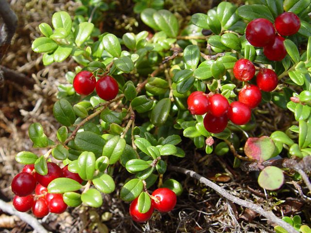aratilis tea research by feiouzka